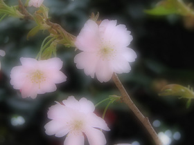 七代目桜.jpg